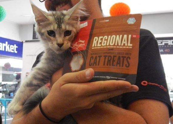 gato main coon con treat premio comida para gatos orijen regional cat food