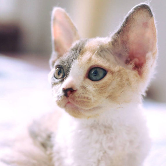 raza de gato devon rex lima peru